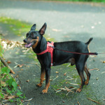 miniature-pinscher001