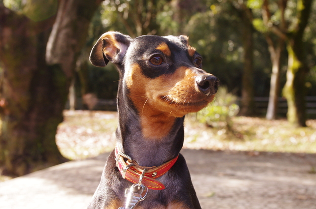 miniature-pinscher002
