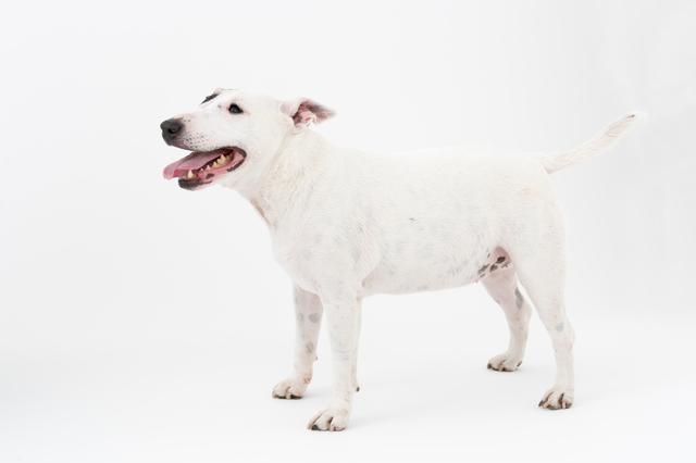 miniture-bull-terrier003