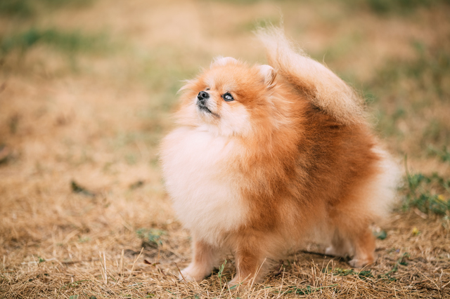 Red Pomeranian Spitz Small Dog