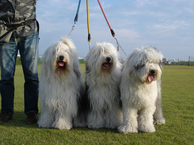 old-english-sheepdog004