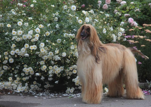 afghan-hound003