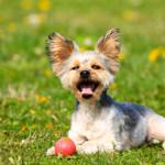 yorkshire-terrier004