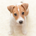 parson-russell-terrier001