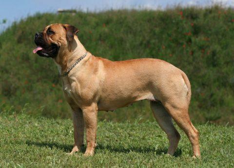 zzbull-mastiff01