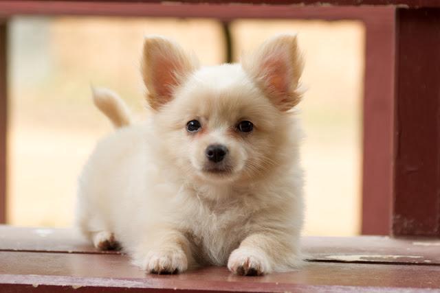 ミックス犬、ポメチワの特徴~見た目、大きさ、性格、飼いやすさ