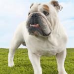 bulldog001
