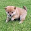 小豆柴ってどんな犬?成犬の身体の大きさ、子犬の価格&豆柴との違いとは?