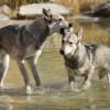 ウルフドッグ(狼犬)ってどんな犬?性格、身体の大きさ、購入価格、飼育は難しい?