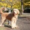 ゴールデンドゥードルってどんな犬種?性格としつけ方法、購入はブリーダーから!